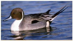 A Pintail, just like Myfanwy